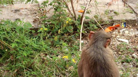 Indian macaque feeds on pods of bean plants 1 Footage