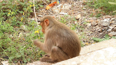 Indian macaque feeds on pods of bean plants 2 Live Action