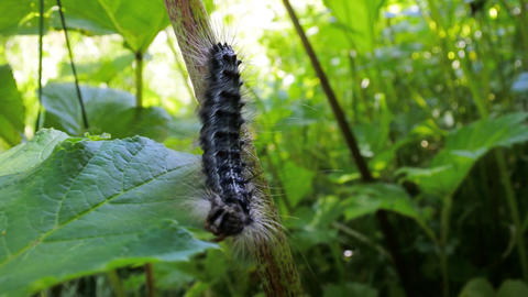 Lymantria dispar caterpillars move in forest Live Action
