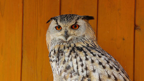 Portrait of a spotted eagle-owl Footage