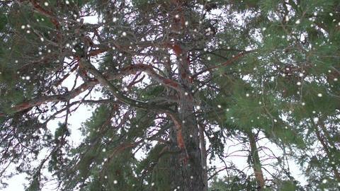 pine, snow fall, winter Footage