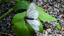 Aporia Crataegi butterfly on shore of mountain lake Footage
