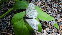 Aporia Crataegi butterfly on shore of mountain lake Footage