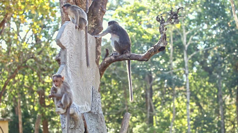 Closeup Monkeys Sit Play on Tree Trunk in Park Footage