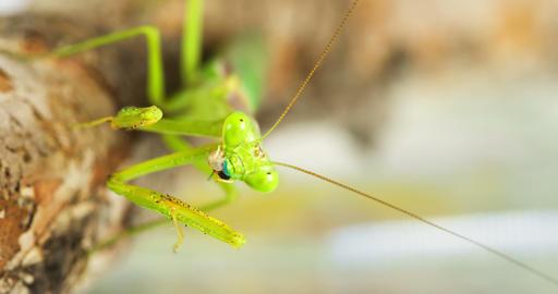 Macro Praying Mantis Eating A Cricket Footage