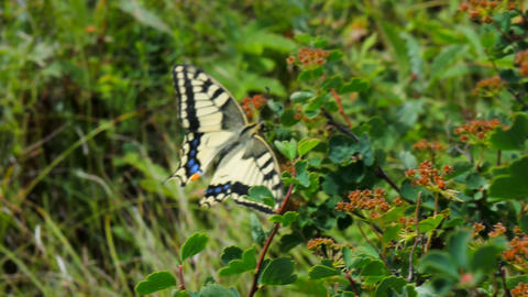 Swallowtail butterfly in Altai mountains Footage