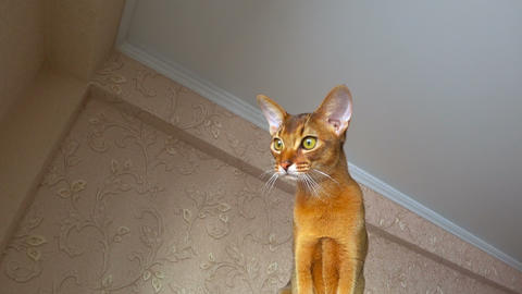 Abyssinian cat portrait Footage