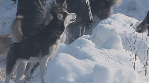 A pack of husky breed dogs Footage