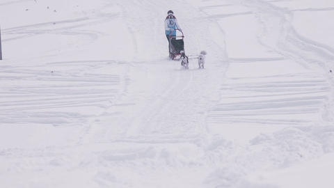 Pair of husky sled dogs with dog-driver Live Action