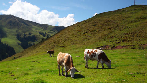 Cows on the mountain pastures Footage