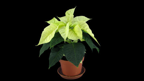 Time-lapse of growing poinsettia Christmas flower with ALPHA channel Footage