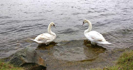 Two white swans standing in a river, beside the river bank Footage