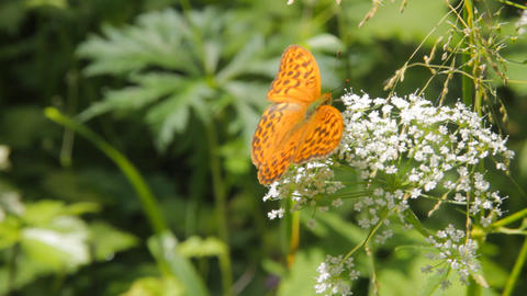 Pearl-Bordered family insects butterflies feeding on Footage