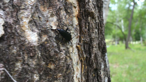 Brightly colored Longhorn beetle (Leptura) on bark of birch Footage