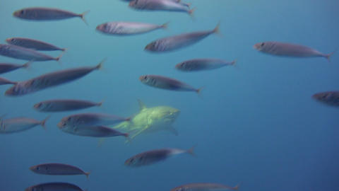 Great diving with Great white sharks off the island of Guadalupe in the Pacific Live Action