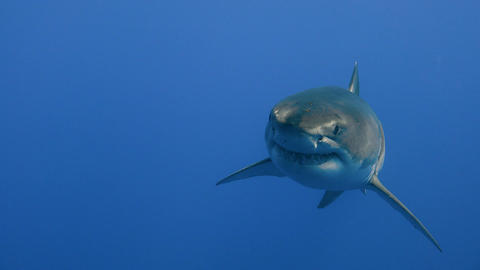 Great diving with Great white sharks off the island of Guadalupe in the Pacific  Footage