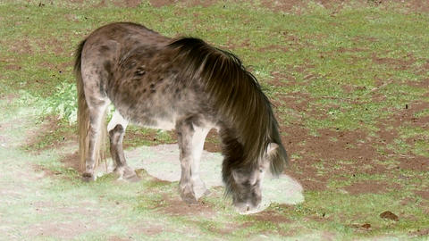 Grazing light brown pony with inversion filter Footage