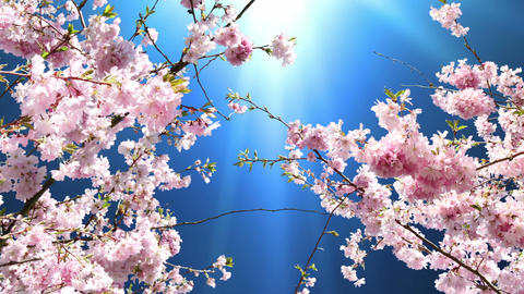 Flowering Cherry Animation
