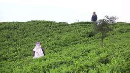 A supervisor watches over tea fields in Sri Lanka Stock Video Footage