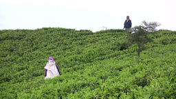 A supervisor watches over tea fields in Sri Lanka Footage