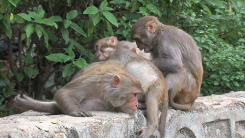 Monkeys checking for fleas Stock Video Footage