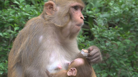baby monkey drinking by mother monkey while eating Footage