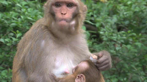 baby monkey drinking by mother monkey while eating Stock Video Footage
