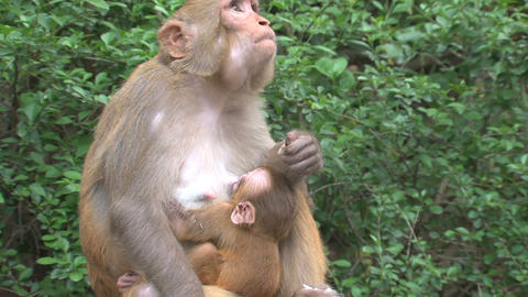baby monkey drinking Stock Video Footage