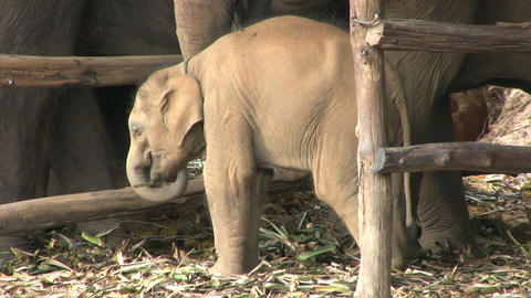 Baby Elephant Eating In The Rain Stock Video Footage