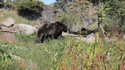 Brown Bear Goes For A Walk Stock Video Footage