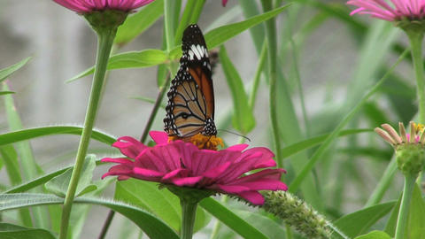 Butterflies Getting Pollen Footage