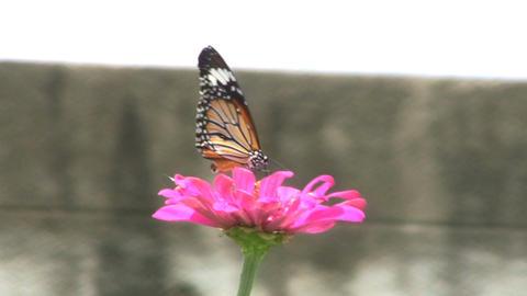 Butterflies Getting Pollen Stock Video Footage
