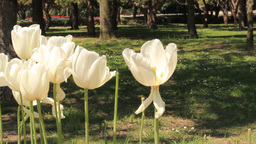 WHITE TULIPS Footage