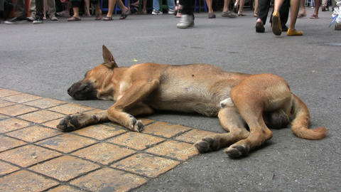 Dog Resting On The Street Footage