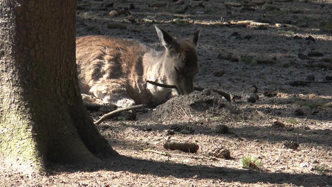 sika deer chewing at a branch Stock Video Footage