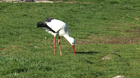 stork searching for insects on meadow Footage