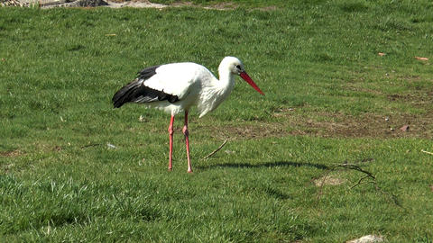 stork searching for insects on meadow Stock Video Footage