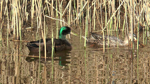 couple of ducks feeding from the ground Stock Video Footage