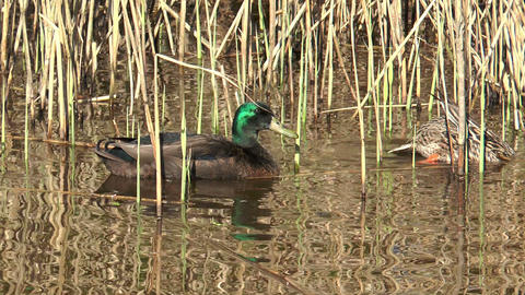 Couple Of Ducks Feeding From The Ground stock footage