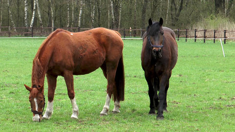 Two horses grazing on meadow Stock Video Footage