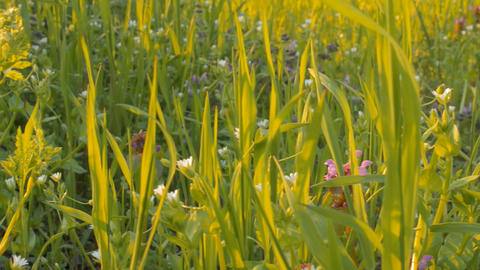 Wild flowers on a background of green grass(camera Stock Video Footage