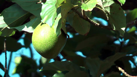 Avocado Fruit hanging in tree blown by soft wind Stock Video Footage