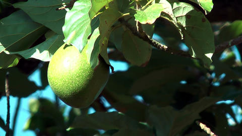 Avocado Fruit Hanging In Tree Blown By Soft Wind stock footage