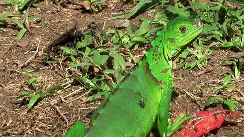jesus christ lizard costa rica close up Stock Video Footage