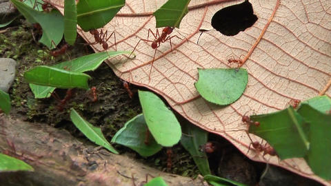 Leafcutter ants carrying leaf segments close up Stock Video Footage