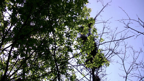 Crows live here Stock Video Footage