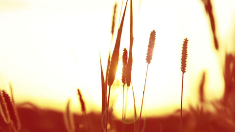 Sunset and grass Stock Video Footage