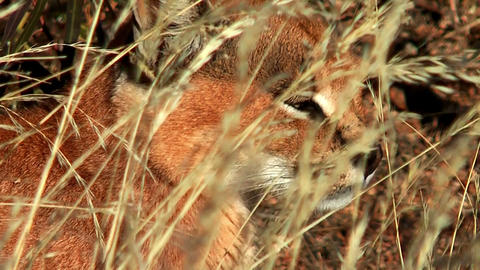 caracal close up Stock Video Footage