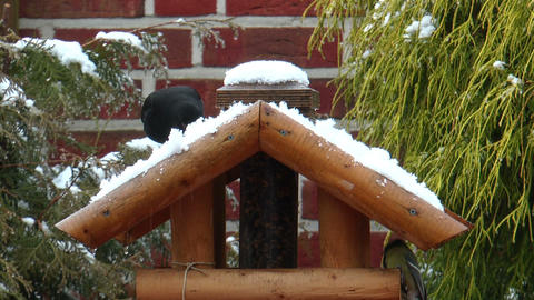Common blackbird eating snow in winter Stock Video Footage