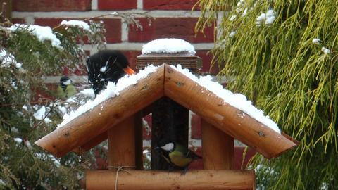 Common blackbird eating snow in winter Stock Video Footage